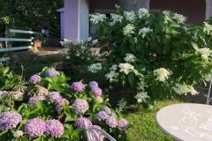 ortensie-giardino-fronte